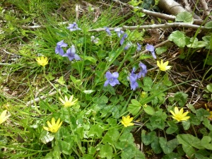 Violet and Celandine May 2013