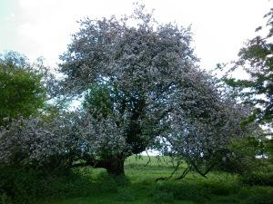 Crab Apple Tree in Flower